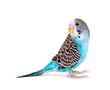 budgerigars-clipart-pet-bird-9